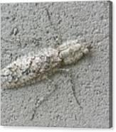 Grizzled Mantis  Canvas Print