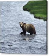 Grizzly At Yellowstone Canvas Print