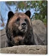 Grizzly Bear 1 Canvas Print