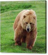 Grizzly Bear Approaching In A Field Canvas Print