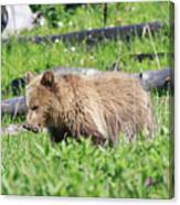 Grizzly Bear Cub In Yellowstone National Park Canvas Print