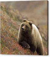 Grizzly Bear In Berries Canvas Print
