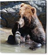 Grizzly Bear Licking His Paw While Seated In A Muddy River Canvas Print