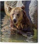 Grizzly Bear - San Diego Zoo Canvas Print