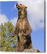 Grizzly Bear Standing On A Ridge Canvas Print