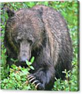Grizzly Claws Canvas Print