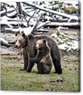 Grizzly Cub Holding Mother Canvas Print
