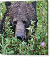 Grizzly In The Berry Bushes Canvas Print