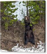 Grizzly Shaking A Tree Canvas Print