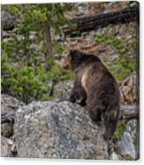 Grizzly Sow In Yellowstone Park Canvas Print