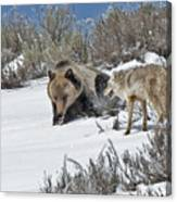 Grizzly With Coyote Canvas Print