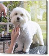 Grooming The Neck Of Adorable White Dog Canvas Print