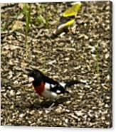 Grosbeak With Quizzical Look Canvas Print