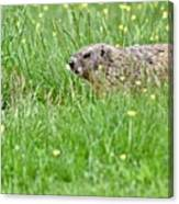 Groundhog In A Field Of Flowers Canvas Print