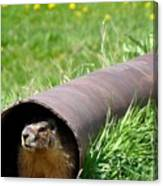 Groundhog In A Pipe Canvas Print