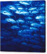 Group Of Bigeye Jacks Swimming By Canvas Print