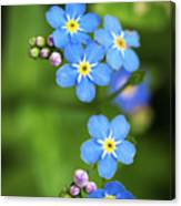 Group Of Blue Flowers Forget-me-not Canvas Print