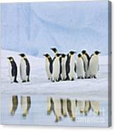 Group Of Emperor Penguins Canvas Print