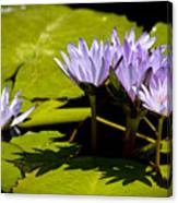 Group Of Lavender Lillies Canvas Print