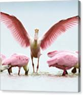 Group Of Roseate Spoonbills Canvas Print