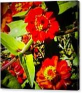 Group Of Small Red Zinnia's Canvas Print