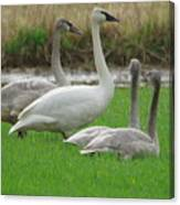 Group Of Young Swans Canvas Print