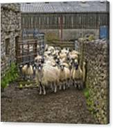 Group Yorkshire Sheep Canvas Print