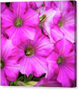 Grouping Of Petunias Canvas Print