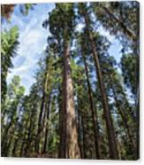 Grove Of Big Trees Canvas Print