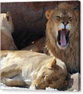 Growling Male Lion In Den With Two Females Canvas Print