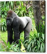 Grumpy Gorilla IIi Canvas Print