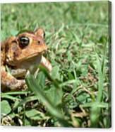 Grumpy Toad Canvas Print