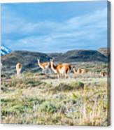Guanaco In Patagonia Canvas Print