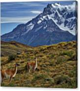Guanacos In Patagonia Canvas Print
