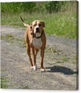 Guarding Pit Bull Dog Canvas Print
