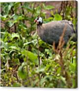 Guineafowl 3 Canvas Print