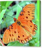 Gulf Fritillary Butterfly Cropped Canvas Print