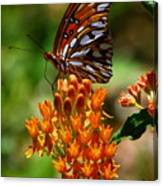 Gulf Fritillary On Butterflyweed Canvas Print