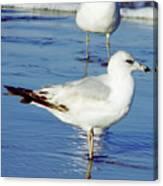 Gull - Beach -reflection Canvas Print