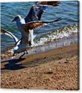 Gull Fight Canvas Print