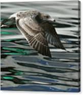 Gull Flight Canvas Print