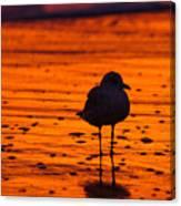 Gull Caught At Sunrise Canvas Print