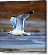 Gull Inflight Canvas Print
