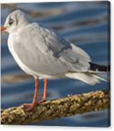Gull On A Rope Canvas Print