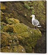 Gull On Cliff Edge Canvas Print