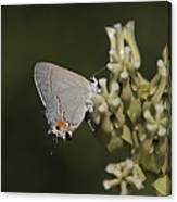 Hairstreak Butterfly Canvas Print