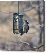 Hairy Woodpecker 1 Canvas Print