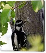 Downy Woodpecker 01 Canvas Print