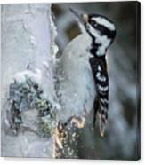 Hairy Woodpecker Female Canvas Print