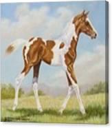 Half Arabian Pinto Filly Canvas Print